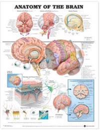 Bilde av Anatomy Of The Brain