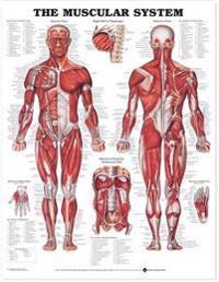 Bilde av Muscular System Chart Laminated