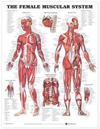 Bilde av Female Muscular System Chart