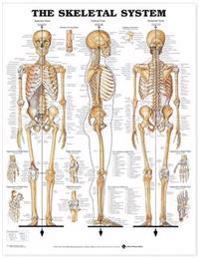 Bilde av Skeletal System