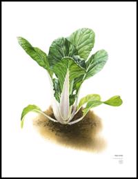 Farbror Grön Poster Pak Choi